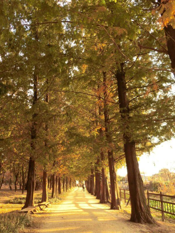 一山湖水公園のメタセコイヤ並木