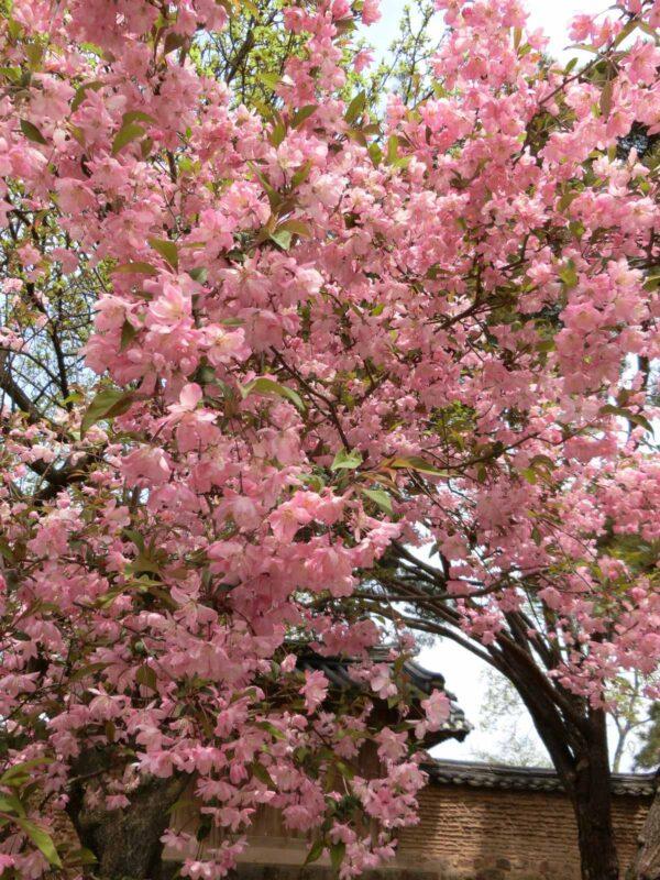 河回マウルで咲いていた牡丹桜